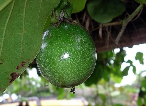 パッションフルーツの冬越しさせる育て方のポイント。剪定も大事