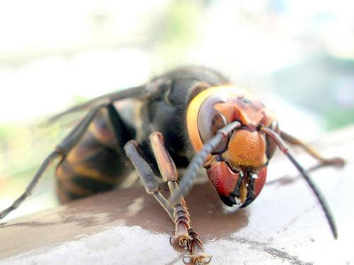 スズメバチが最も嫌がる天敵で対策できるのか?苦手な鳥や昆虫