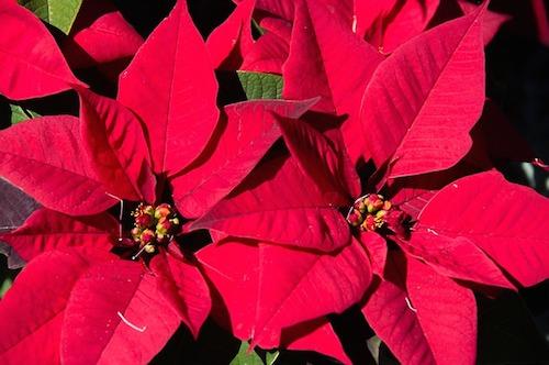 なぜクリスマスにポインセチア?由来を解説。ツリーやリース使われる理由。