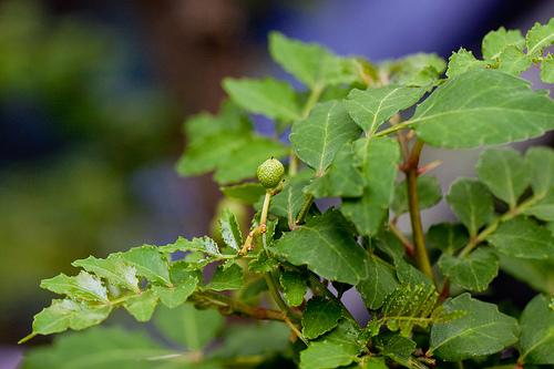 山椒の実 収穫時期と使い方。保存して美味しく料理に使う方法。