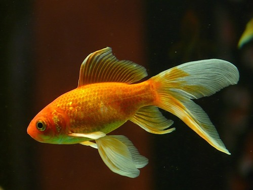 金魚を飼いたい!