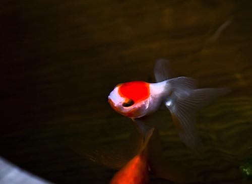 塩浴している金魚