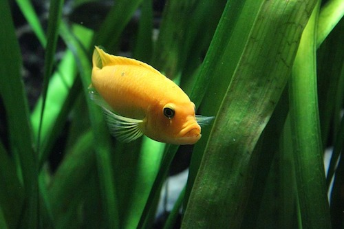 金魚の飼い方は水槽がポイント?金魚鉢での飼育方法とは