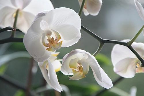 胡蝶蘭の育て方。夏と冬はどうする?水やりと植え替え方法