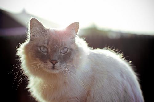 白い猫が夢に出てきた意味とは?夢占いの分析は?噛まれると…