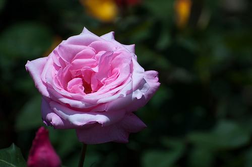 春バラの見頃な開花時期は?秋バラとの違いについて