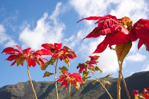 ポインセチアの育て方!挿し木で?剪定の方法で葉が落ちる?