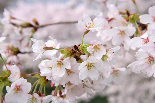 遅咲き桜の名所ココ!大阪,京都はどこで?東京や神奈川は?