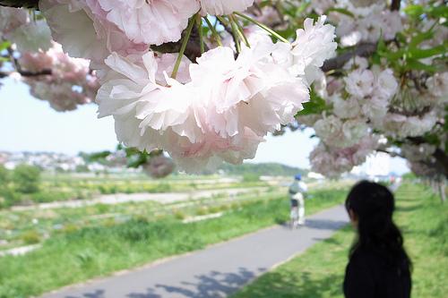 八重桜の名所は東京都内だとどこがオススメ?