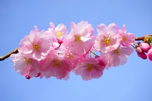 八重桜の魅力
