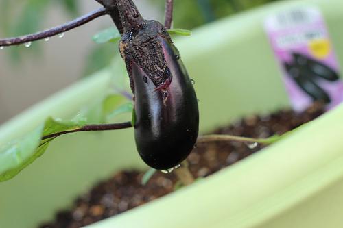 なすの育て方 家庭菜園での肥料と剪定は?プランターでもOK?