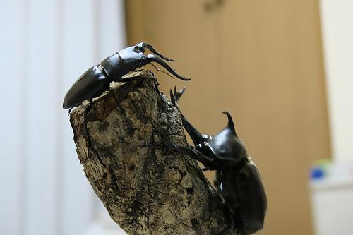 クワガタの幼虫の育て方ー上手な飼育方法とエサで大きくする?