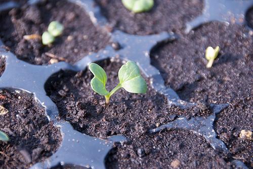 夏に植える野菜,果物とは。苗をプランターで育ててみたい。