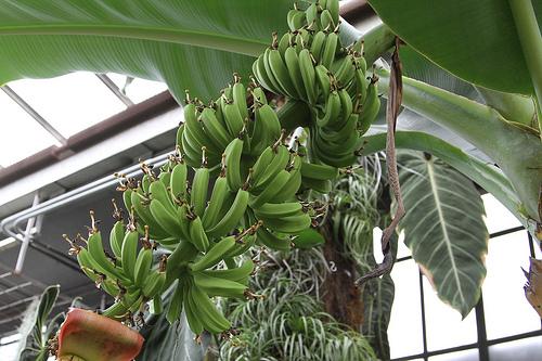 新パナマ病コワい!バナナの病気フィリピンで猛威!対策どーする?