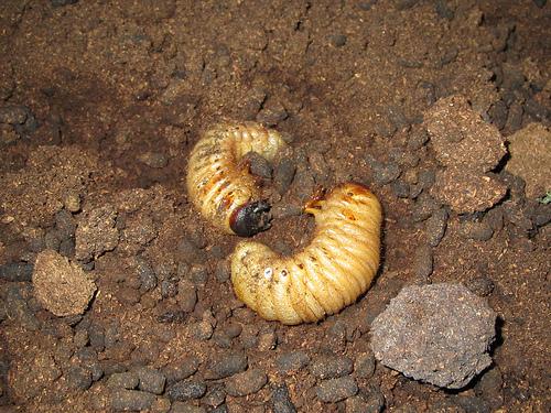 クワガタ幼虫の見分け方!カナブンとどう違う?同じに見える!