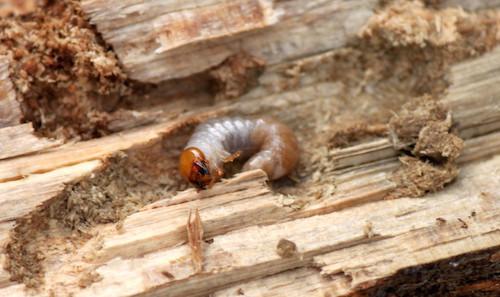 クワガタ幼虫