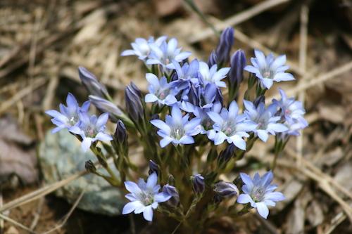 敬老の日 プレゼントするお花りんどう人気の理由。どんな花言葉?