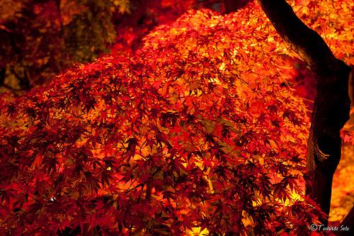 鎌倉の紅葉はライトアップで見るべし!名所長谷寺の魅力。