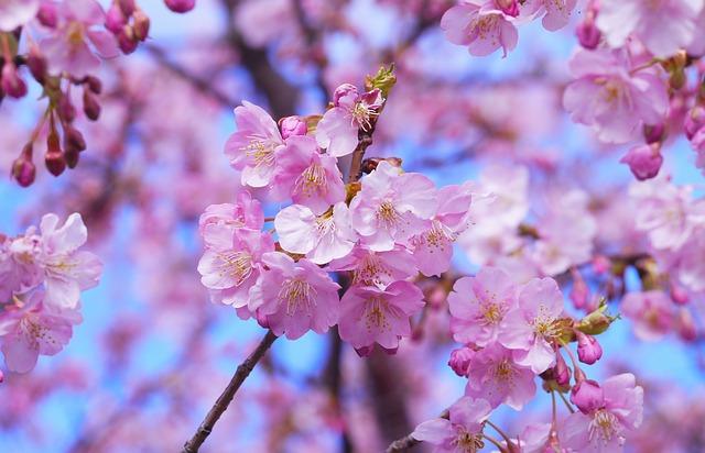 三春の滝桜 キレイな見頃はいつ?渋滞避けたい駐車場の情報