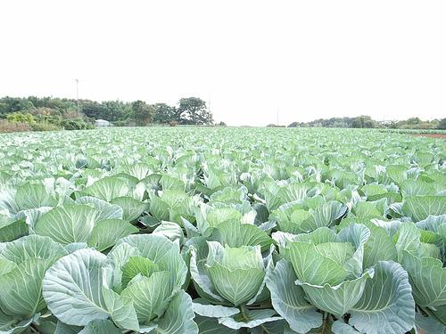 春野菜の種まき時期 最適はいつ?美味しく作る栽培方法ポイント解説