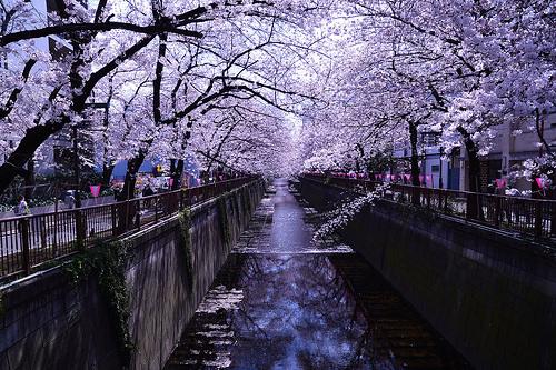 目黒川の桜で花見!行き方とライトアップの時期をチェック!