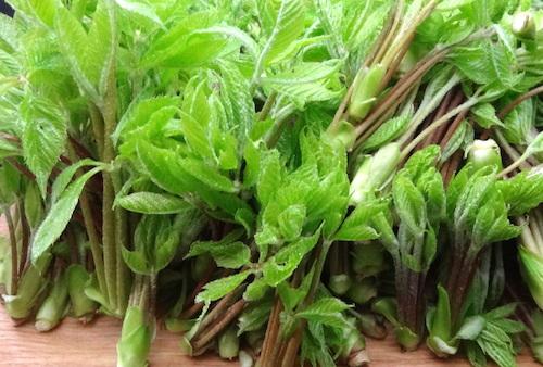 山菜のコシアブラはどう料理する?美味しい食べ方をご紹介。