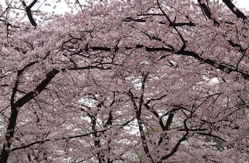 赤城南面千本桜の開花情報をチェック!見ごろの時期を確認せよ!