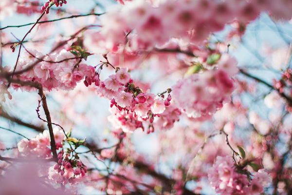 桜の種類って何種類あるか知ってる?希少な桜ってどんな珍しい桜?