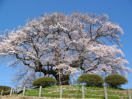 醍醐桜のキレイな見頃はいつ?開花してライトアップの時期を確認しよう。