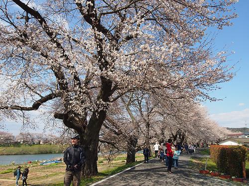 一目千本桜の場所はココだよ!アクセスするには電車or車どっちがイイ?