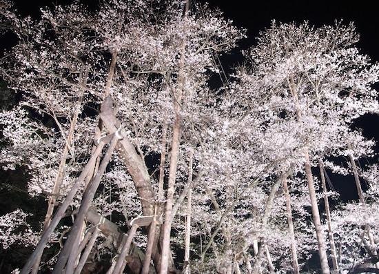 岐阜 淡墨桜の開花情報で見頃を確認!ライトアップで綺麗な桜を見に行こう!
