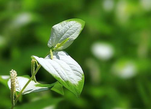 ハンゲショウの花にスゴい効能ある?育て方が気になるけど冬どうする?