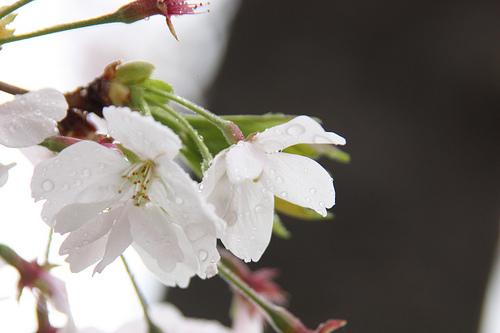 催花雨の使い方とは。季語と俳句で上手く使う時期について。