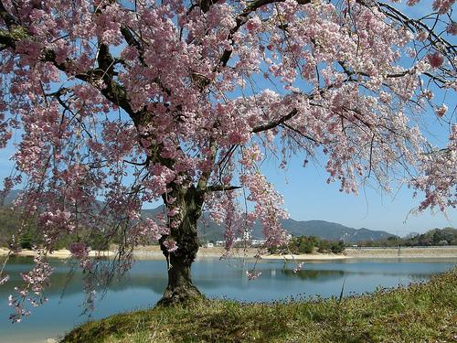 桜守(さくらもり)の仕事とは。京都で有名な佐野藤右衛門を解説。